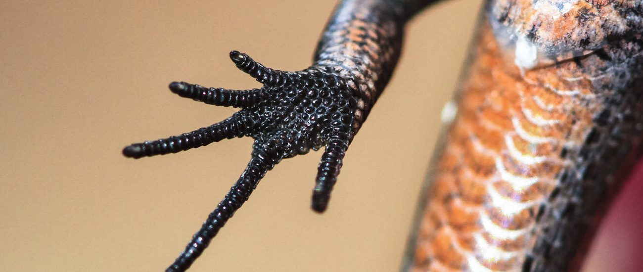 foot-of-a-skink-lizard-up-close-9HNG6X7 (2)
